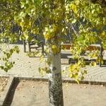Betula pendula, detalle y color de tronco