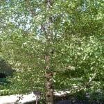 Betula pendula subespecie fontqueri