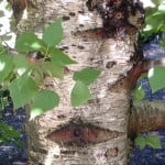 Betula pendula subspespecie fontqueri detalle tronco