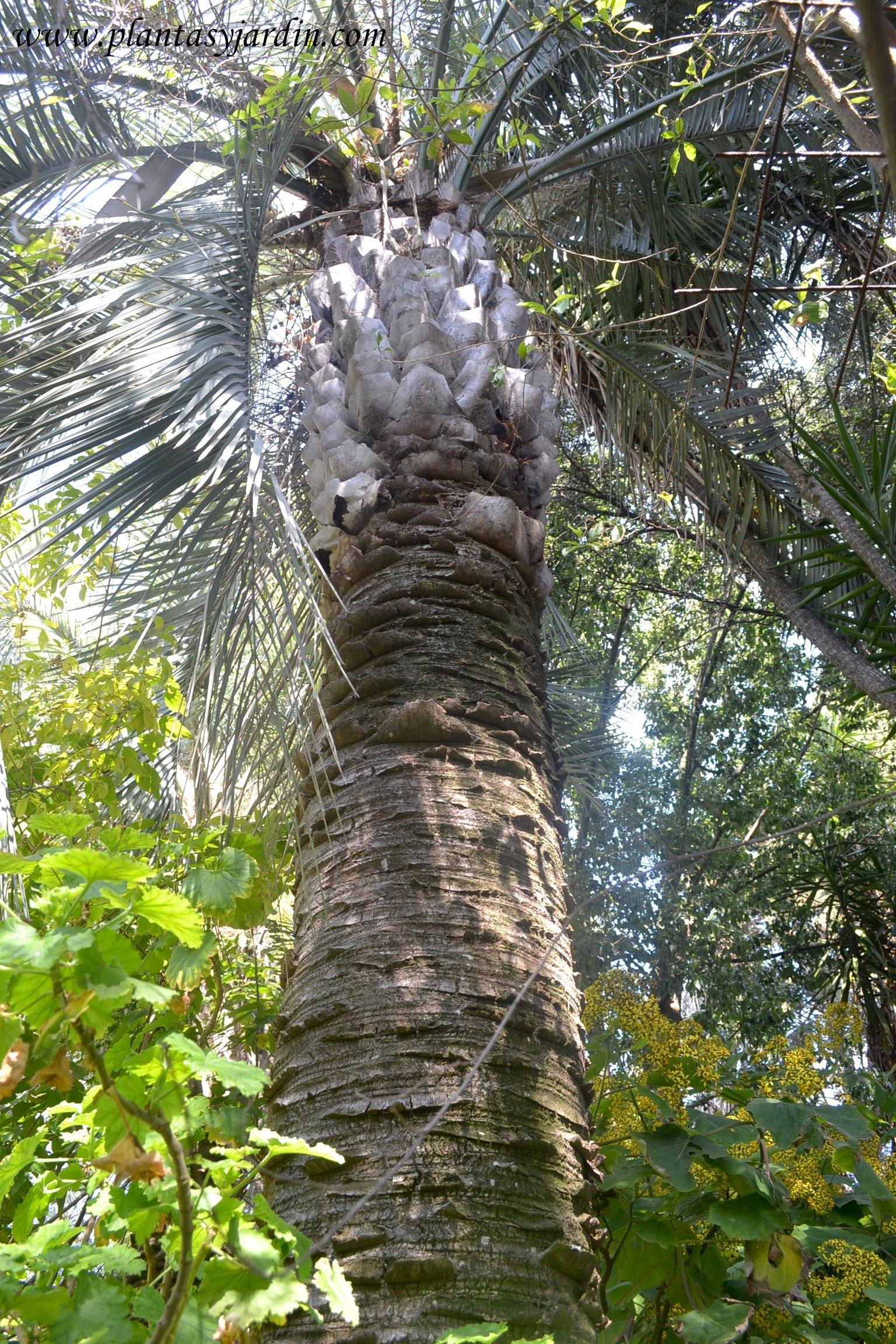 Butia capitata nativa del noreste de Argentina