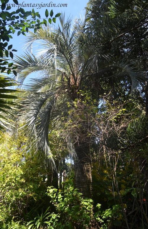 Butia capitata hojas de color verde azulado o glauco muy rigidas y peciolos con espinas