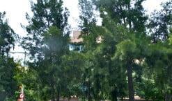 Casuarina cunninghamiana como arbolado urbano en las calles de Nou Barris-BCN