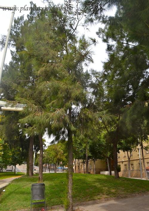 Casuarina cunninghamiana, pino australiano o roble de río