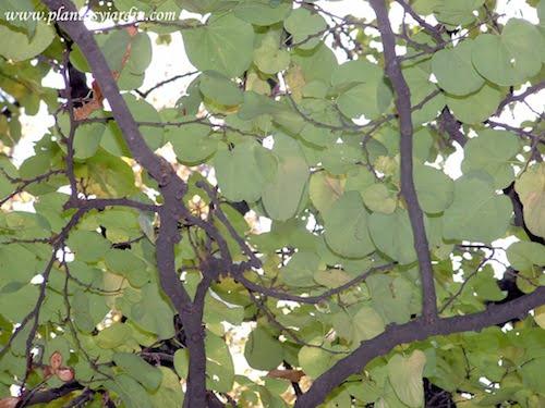 Cercis siliquastrum Arbol del amor detalle del follaje