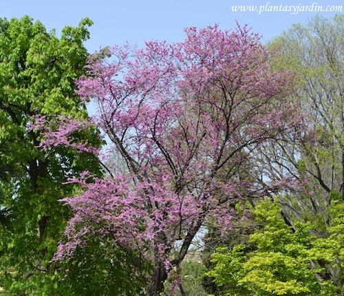 Cercis siliquastrum florecido a comienzos de la primavera