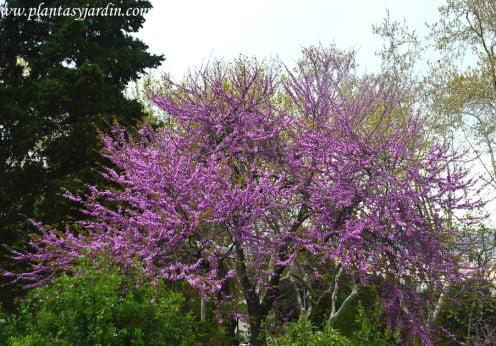 Cercis siliquastrum, árbol mediterráneo ornamental y de flores comestibles