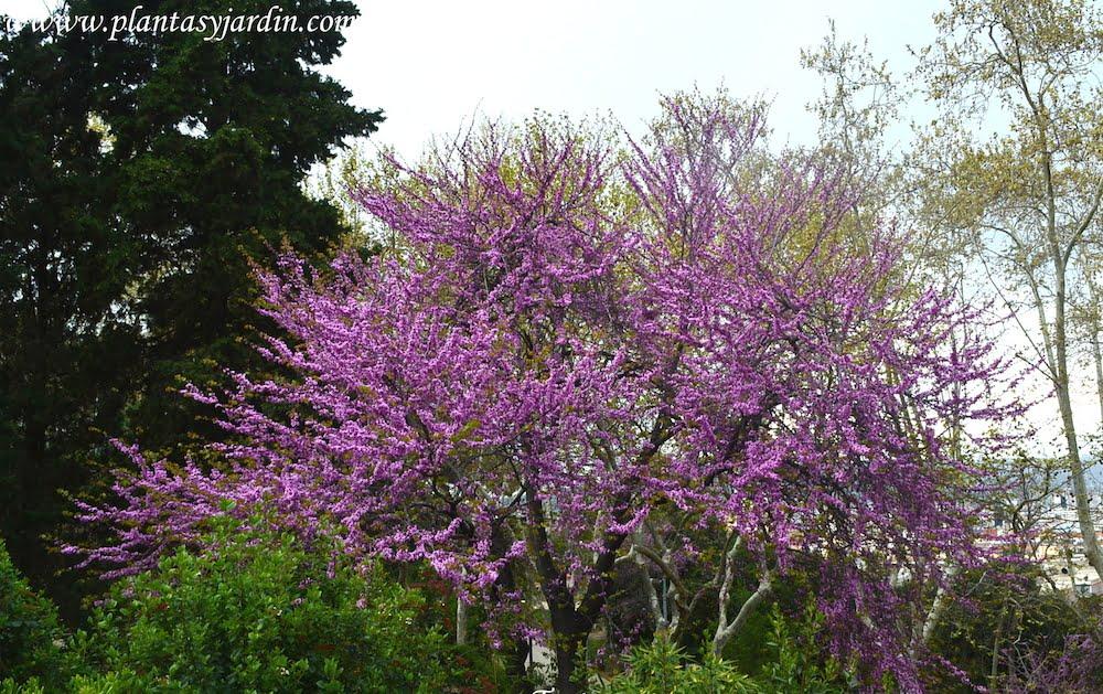 Cercis siliquastrum rbol del amor o de judea ciclamor for Arboles plantas y flores