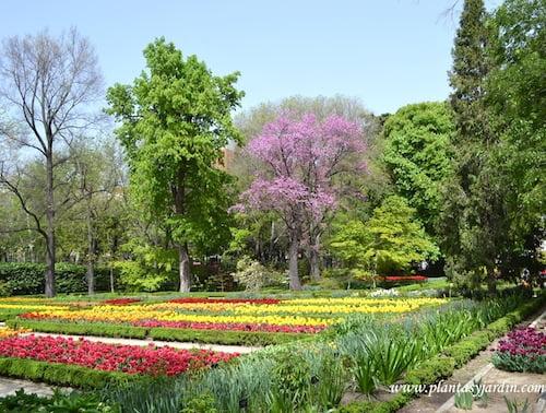Cercis siliquastrum florecido en primavera & parterres de Tulipanes