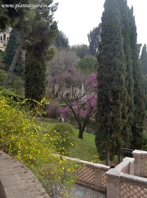 Cercis siliquastrum y Jasminum mesnyi florecidos a comienzos de la primavera