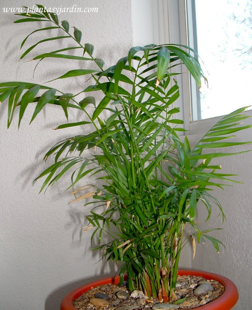 Chamaedorea elegans Palma de interior