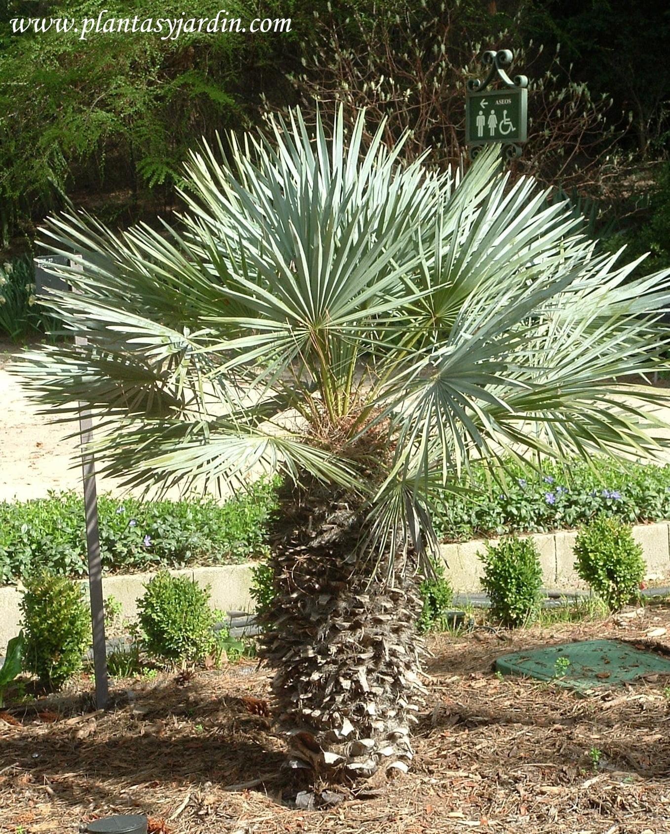Chamaerops humilis el Palmito unica especie dentro del grupo de las Palmeras nativa de la region mediterranea