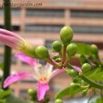 Chorisia Ceiba speciosa pimpollo cerrado y fruto en la planta en verano