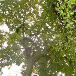 Chorisia speciosa Palo borracho vista de la copa desde abajo