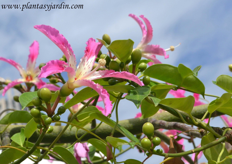 Chorisia speciosa flor hoja y fruto