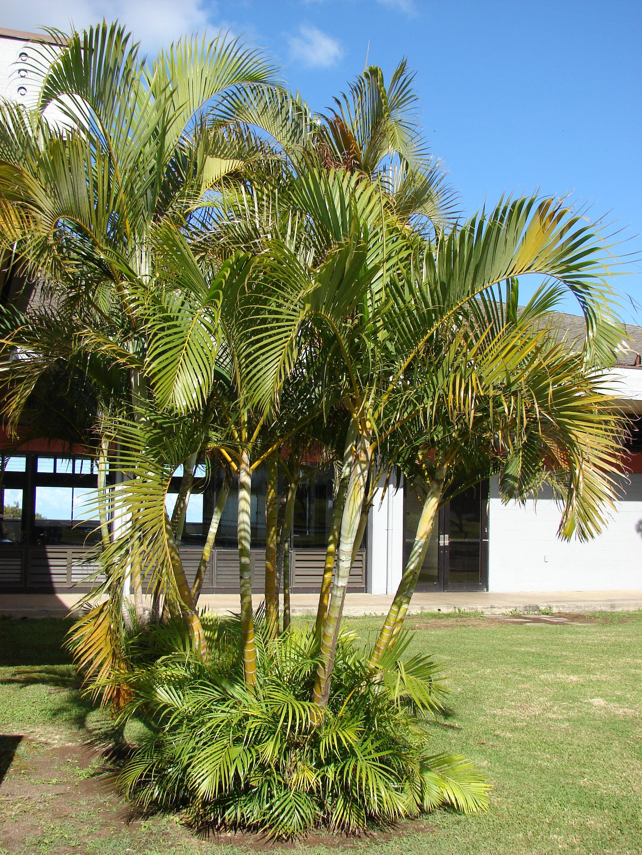 Chrysalidocarpus lutescens Areca. Foto: Wikipedia