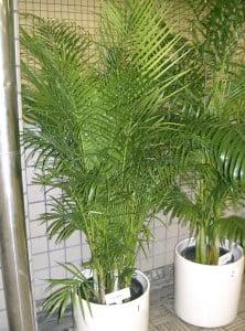 Chrysalidocarpus lutescens. Foto: Wikipedia