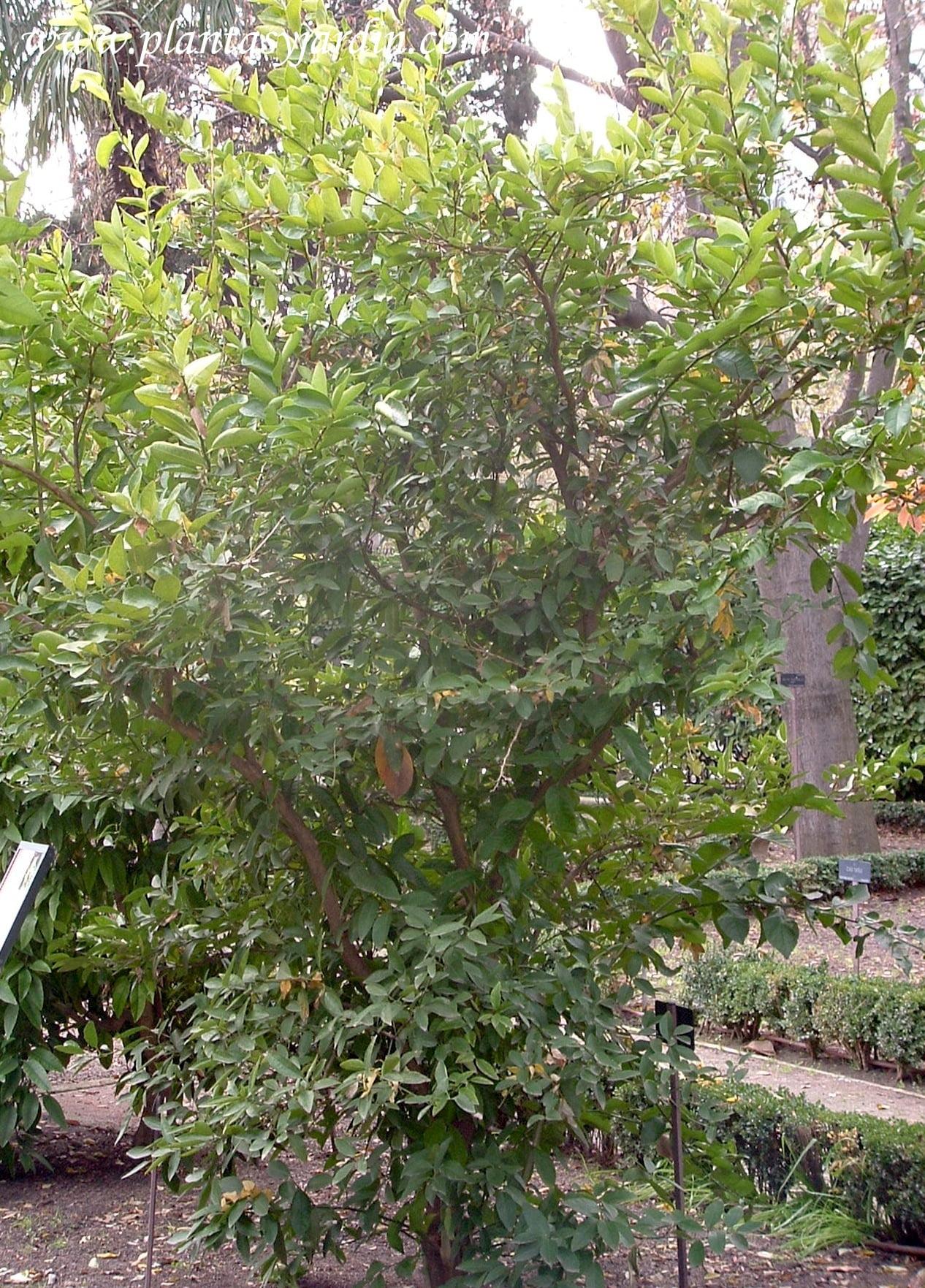 Citrus aurantifolia Limero