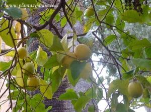 Citrus limon, Limonero, Hesperide