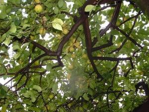 Citrus limon, Limonero