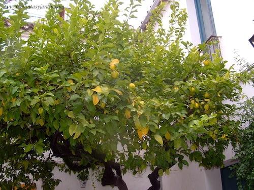 Citrus limon con el fruto en otoño