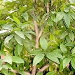 Citrus maxima Pomelo detalle tronco