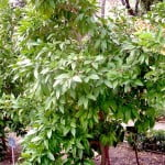 Citrus maxima Pomelo en otono