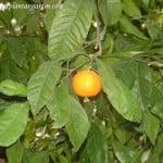 Citrus reticulata, el Mandarino, con fruto