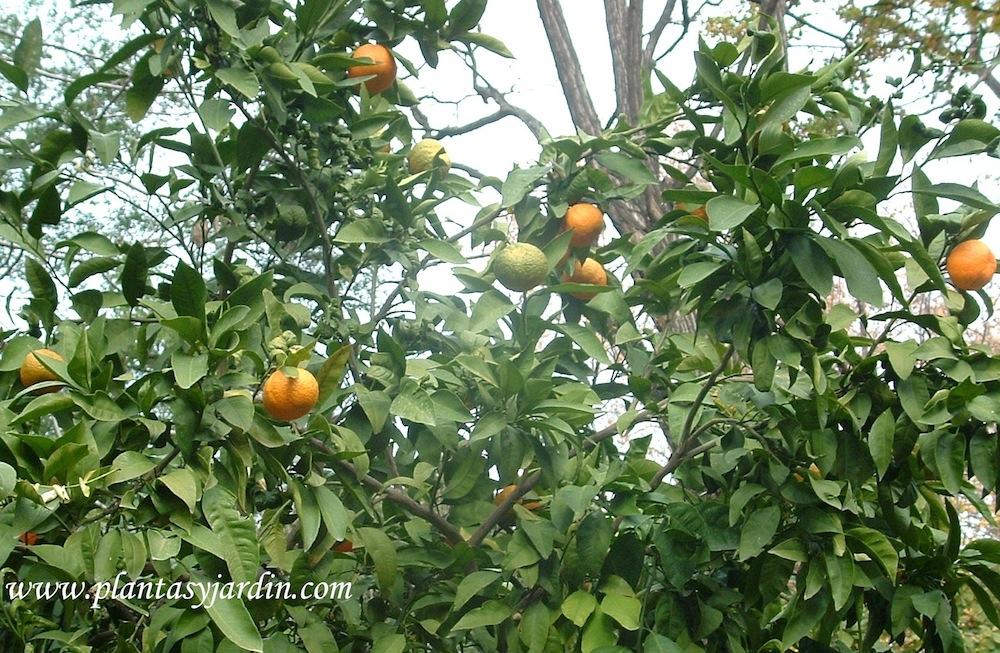 Citrus reticulada, el Mandarino con frutos en la planta en otoño