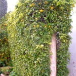 Citrus sinensis como cerco