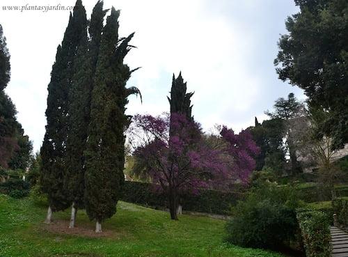 Cupressus sempervirens y Cercis siliquastrum florecido en la Villa dEste