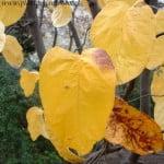 Cydonia oblonga Membrillero gigante de Wranja forma de la hoja
