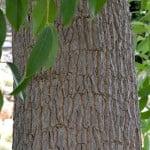 Erythrina crista galli detalle tronco