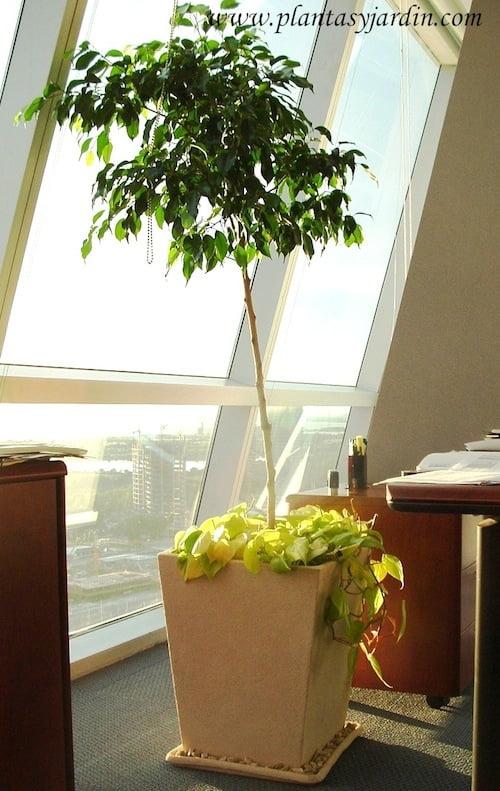 Ficus benjamina con Cordatum lemon