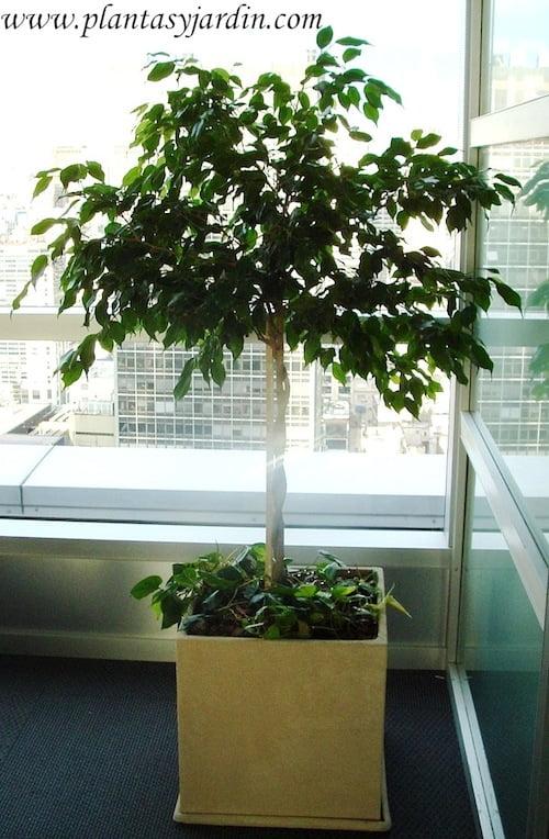 Ficus benjamina con Cordatum variegado y chips en cubo de piedra paris