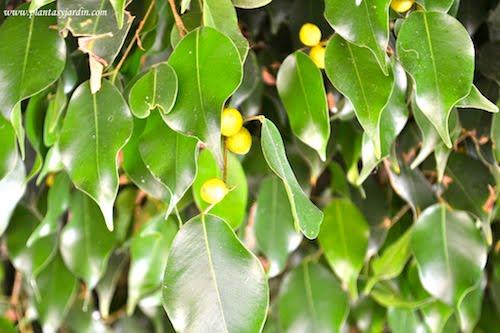 Ficus benjamina con frutos y hojas lustrosas
