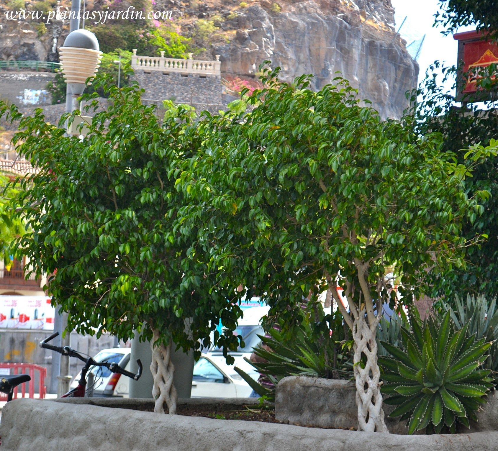 Ficus benjamina con tallos trenzados en La Gomera, Islas Canarias