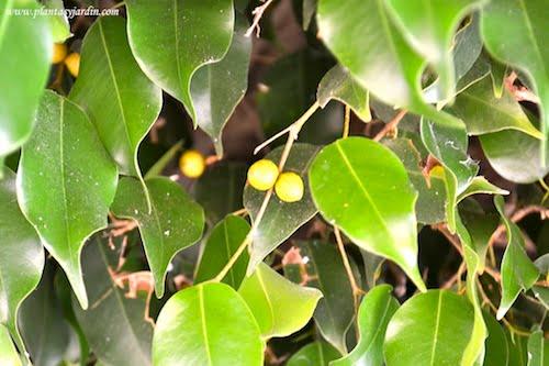 Ficus benjamina follaje perenne y fruto
