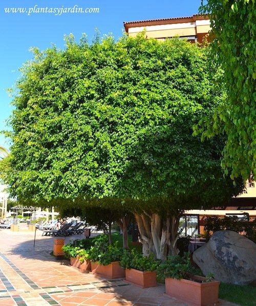 Ficus benjamina genera una densa sombra