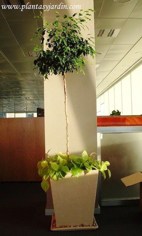 Ficus benjamina topiario con Cordatum lemon en piramidal de piedra paris y granza blanca