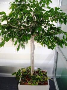 Ficus benjamina trenzado con Cordatum variegado y chips