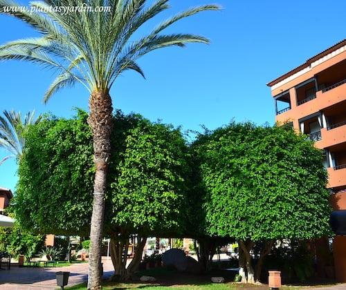Ficus benjamina y Phoenix dactylifera o Palmera datilera en Tenerife