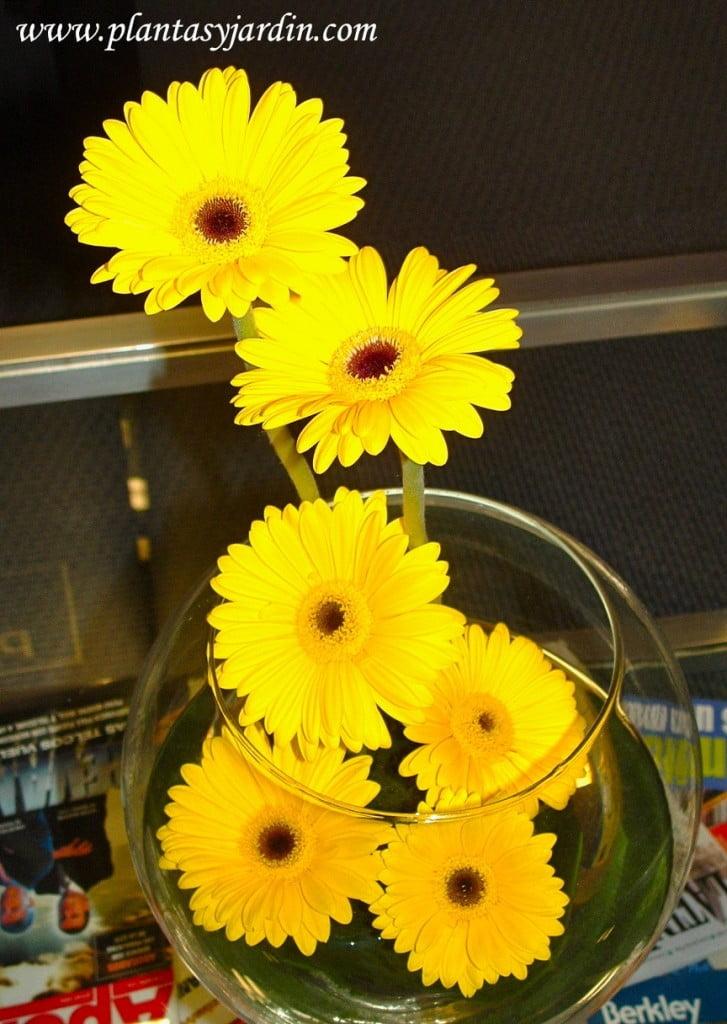 Gerberas amarillas en oasis