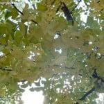 Gikgo biloba detalle de follaje en otoño