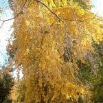 Ginkgo biloba amarillo dorado en otoño