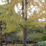 Ginkgo biloba de cerca en otoño