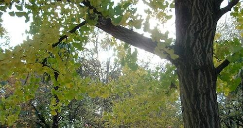 Ginkgo biloba detalle de tronco & follaje en otoño