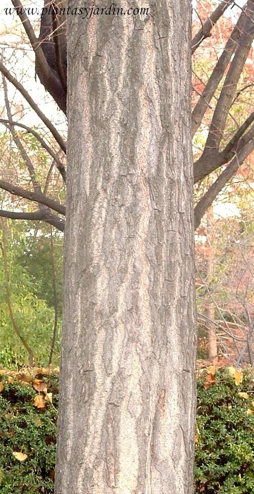 Ginkgo biloba detalle tronco