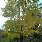 Ginkgo biloba en otoño