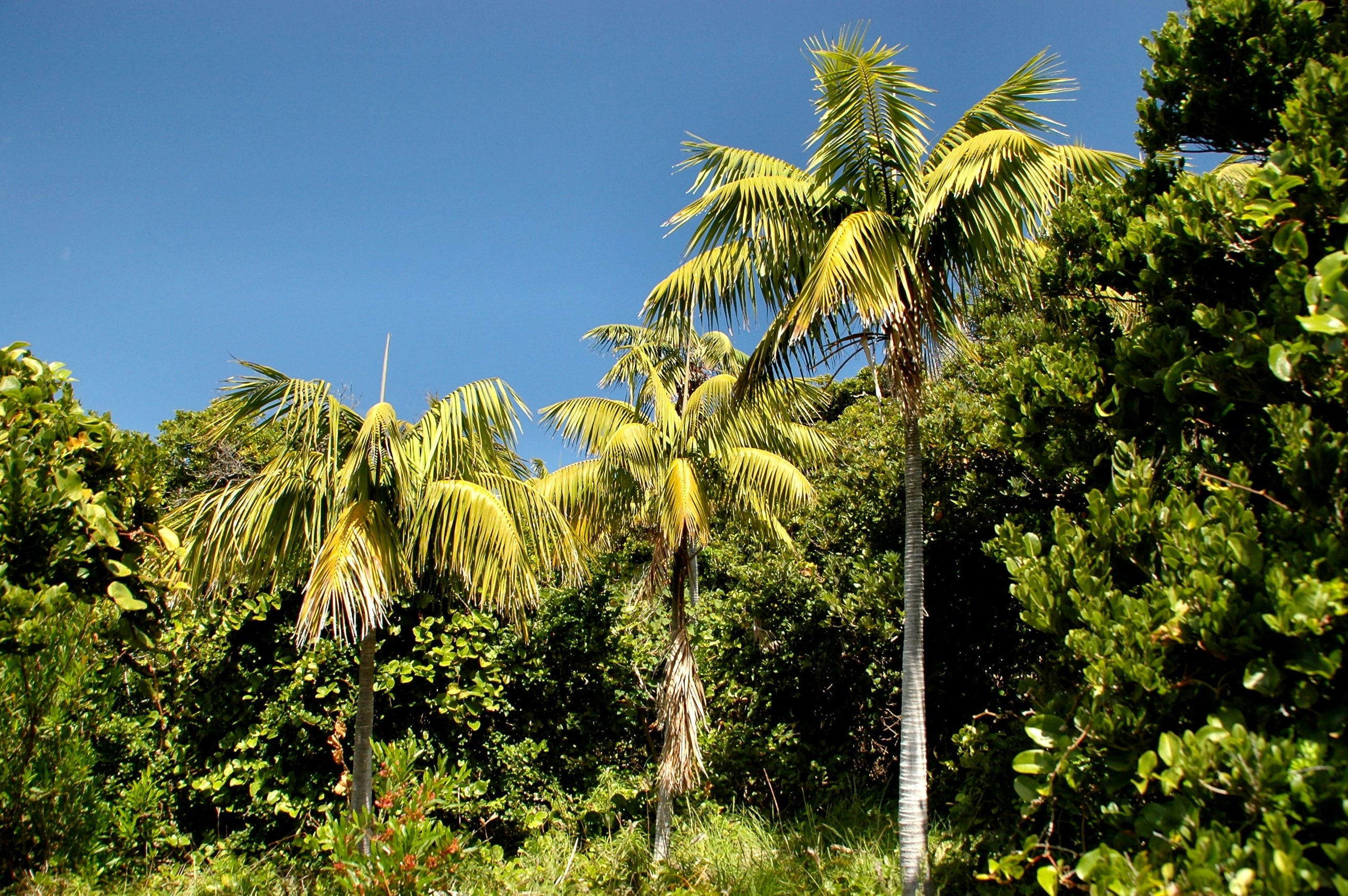 Howea forsteriana Lord Howe Island. Foto: Wikipedia