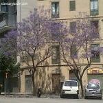 Jacaranda florecido en Barna en el barrio de Fort Pienc